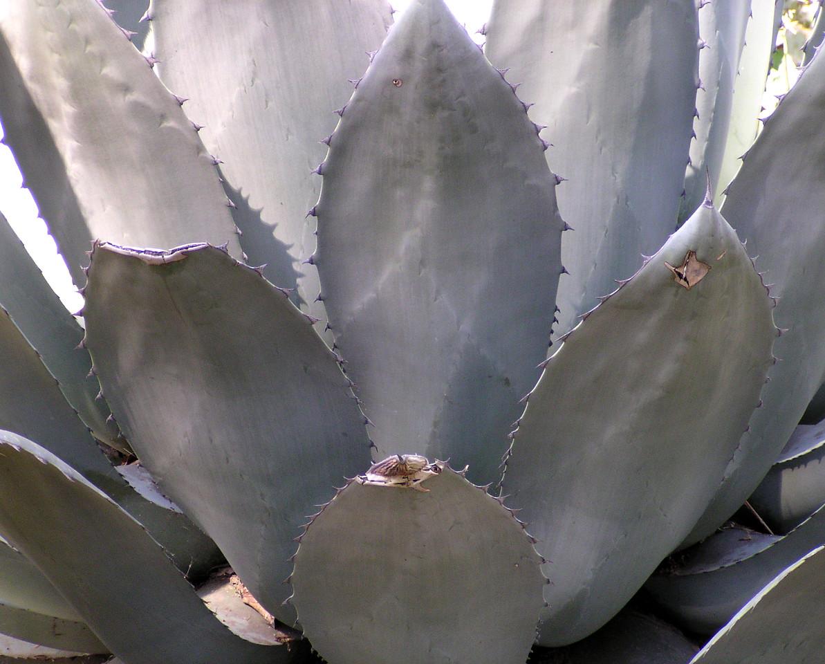 "NPG-031404-15 ""Agave"" Capitol Gardens, Sacramento, California."