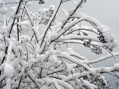 """Snowy Branches"" Crepe myrtle weighted with snow, Shingle Springs, California."