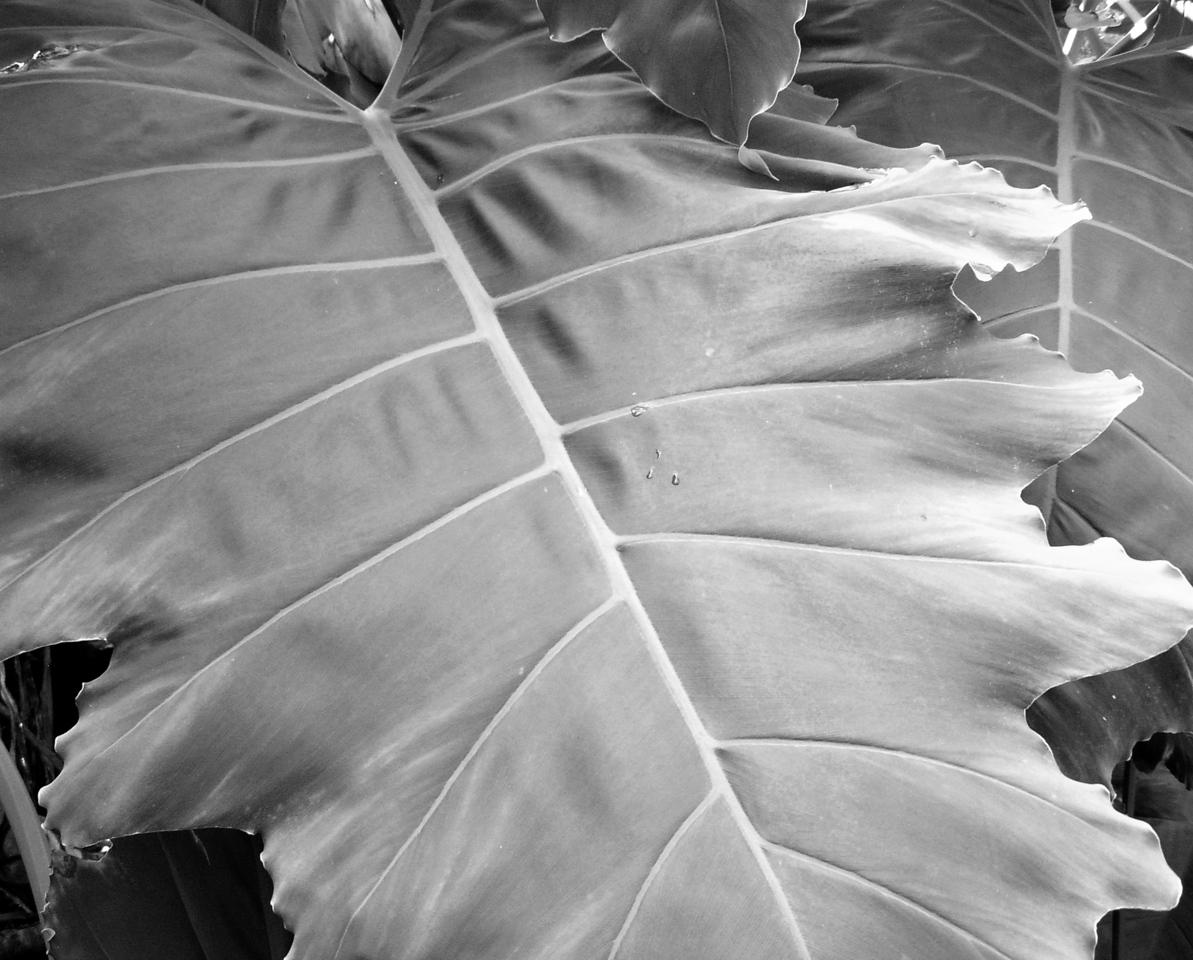 "NPG-102404-04BW ""Tropical"" Quail Botanical Gardens, Encinitas, California.  Black-and-white image."