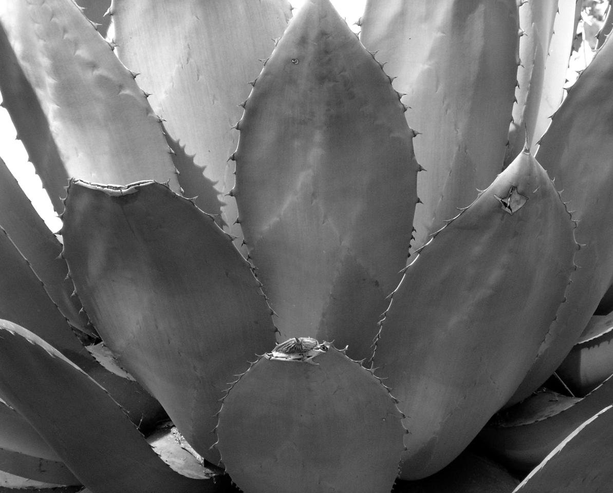 "NPG-031404-15BW ""Agave"" Capitol Gardens, Sacramento, California.  Black-and-white image."