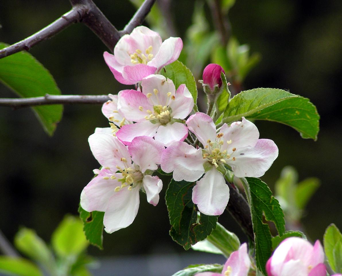 "NPG-041903-06 ""Apple Blossom Lattice"" Pink Lady apple tree, Shingle Springs, California."