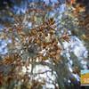 Los Osos Oaks_003