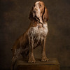 The Champion Bracco Italiano