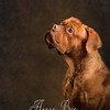 The Dogue de Bordeaux