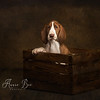 The Bracco Italiano Puppy