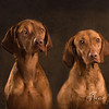 The Hungarian Vizslas