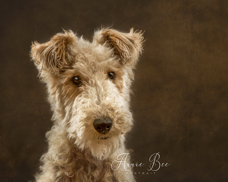 The Wire Haired Fox Terrier