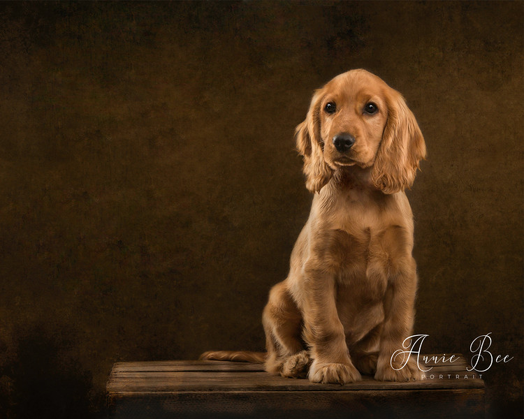 The Golden Cocker Spaniel Puppy