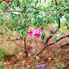 rose-bush-pink-Hampton-park-charleston-sc-engagement-kate-timbers-photography-3124