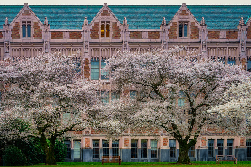 Spring Cherry Blossoms at University of Washington in Seattle