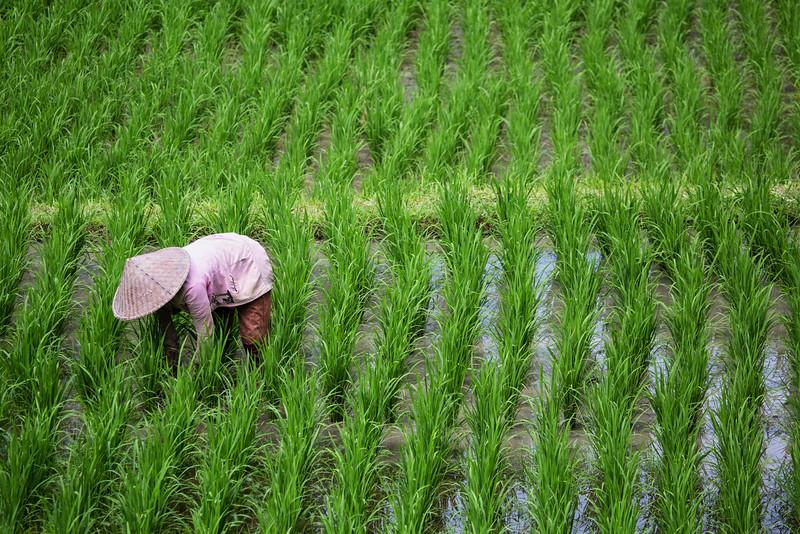 Rice Tending, Bali, Indonesia