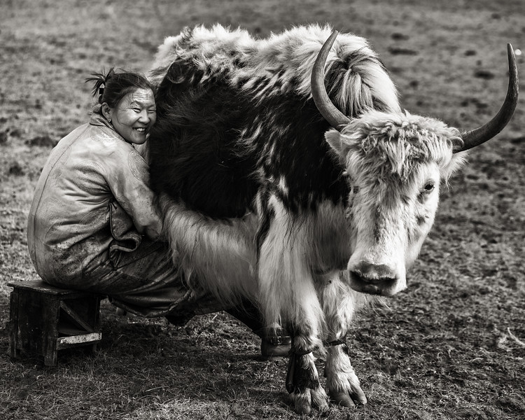 Woman Milking Yak, Mongolia