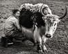 Woman Milking Yak, Mongolia