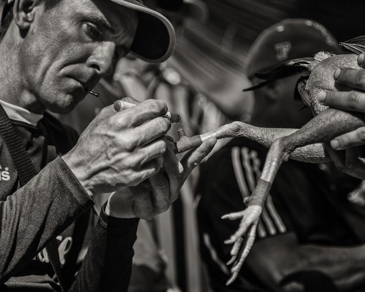 Preparing for Cockfight, Cuba