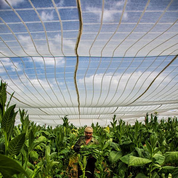 Tobacco Picking, Cuba