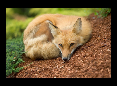 Fox Lying Down | Portrait Services in Fredericton, NB