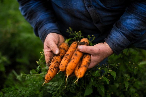 Jim Ward, farmer and owner of Wards Berry Farm, inspects fresh carrots grown on his farm in Sharon, Massachusetts on Tuesday, Oct. 24, 2017. Photographer: Adam Glanzman/Bloomberg