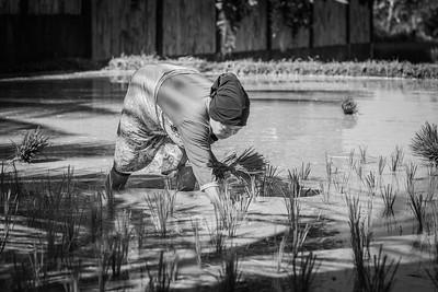 Rice planting ... Tetebatu ... Lombok