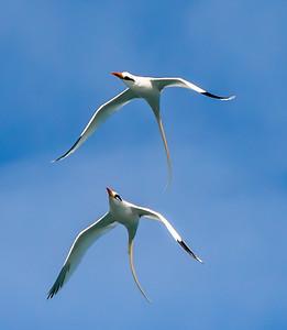 Bermuda Longtail Pair