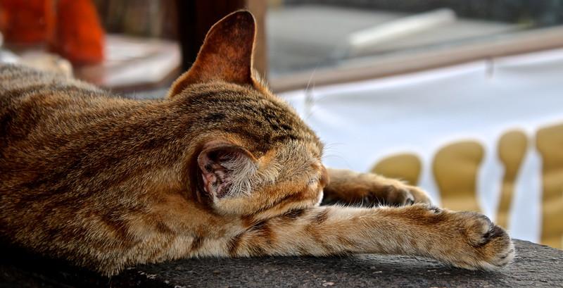 Bali animaux; chats