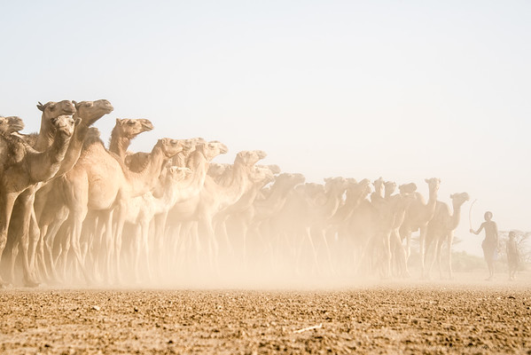 The signature camels of Turkana