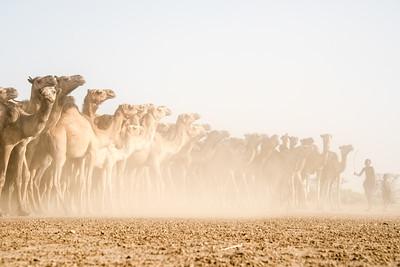 The signature camels of Turkana