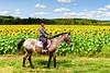 20170910_Sunflowers_Horses_006