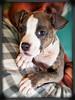 2014-11-12_BATS : 194 Photos.. Penelope 8 week old pit mix puppy, Miko (11 year old Yorkie), Kim, Dave, Terri, Mister, Wine Kittens: Chiraz, Zinfindel, Pinot Grigio, Chimichanga, Essex, Weeno, Youno,  & Meeno..