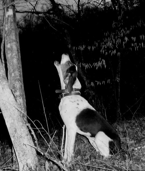 "Treeing Walker Coonhound from the Yadkin River Bred Coonhounds. ""PR"" Yadkin River Hero. I haven't always taken photos."