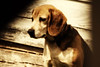 Laverne Beagle