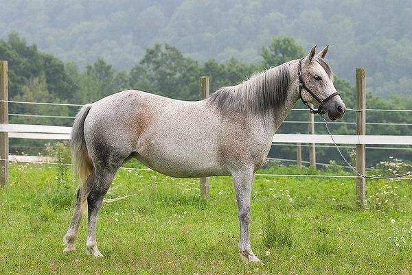 Heart's Desire Arabians