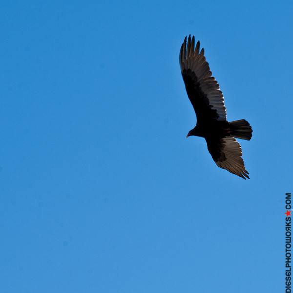 Turkey Vulture: In flight, the undersides of the wings are two-toned: on the leading edge (the front) of the wing the color appears black or dark brown, and the trailing edge appears silver or whitish