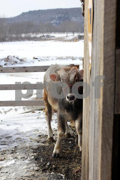 """""""A little Bull"""" copyrt 2014 m burgess"""