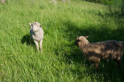 Becky & Sheep