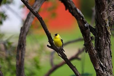 Goldfinch 9479