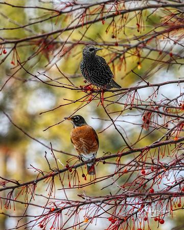 Starling & Robins 0579 XCROP 8x10