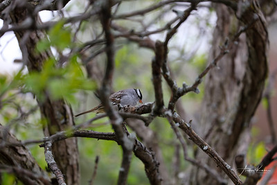 White-Crowned Sparrow 9416 LOGO