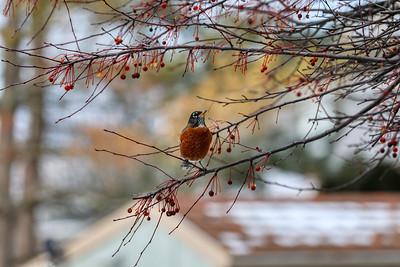 Robin 0585