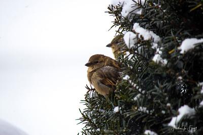 Sparrow in Winter Yew LOGO