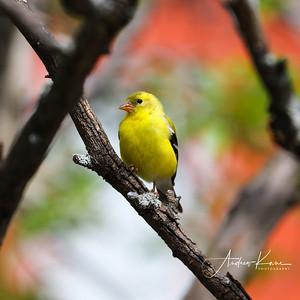 Goldfinch 9472 SQUARE