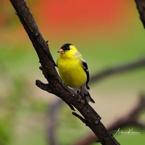 Goldfinch 9479 SQUARE