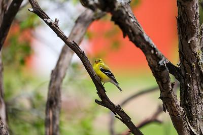 Goldfinch 9478