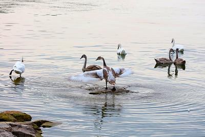 Swans 9223