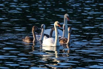 Swan 0489