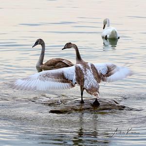 Swans 9223 SQ LOGO
