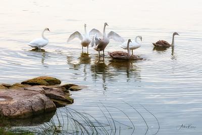 Swans 9217 GLOW LOGO copy