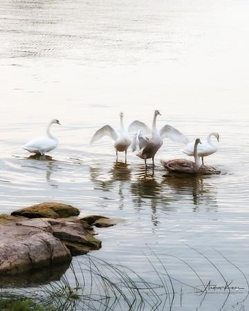 Swans 9217 Glow LOGO