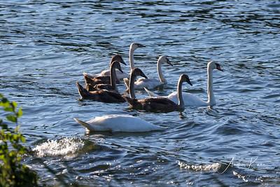 Swan 0520 LOGO