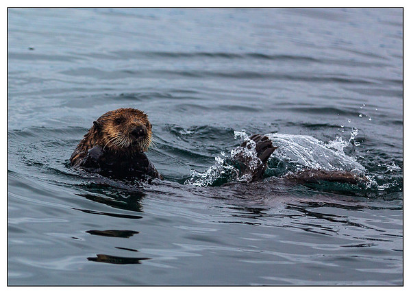 Sea Otter, Sitka, Alaska