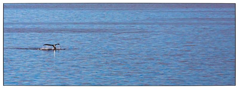 The Inland Passage, Alaska, Humpback Whale